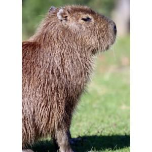 Capybara Encounter