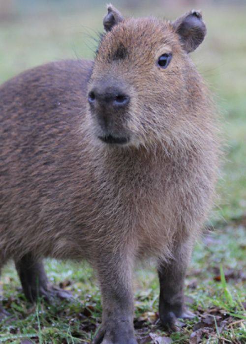 Capybara Encounter