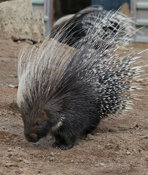 CAPE CRESTED PORCUPINE