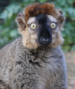RED FRONTED LEMUR