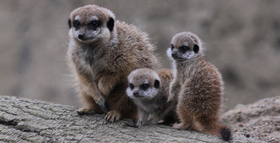Two beautiful baby meerkats were born on 6th February 2017 - now out and about exploring enclosure!