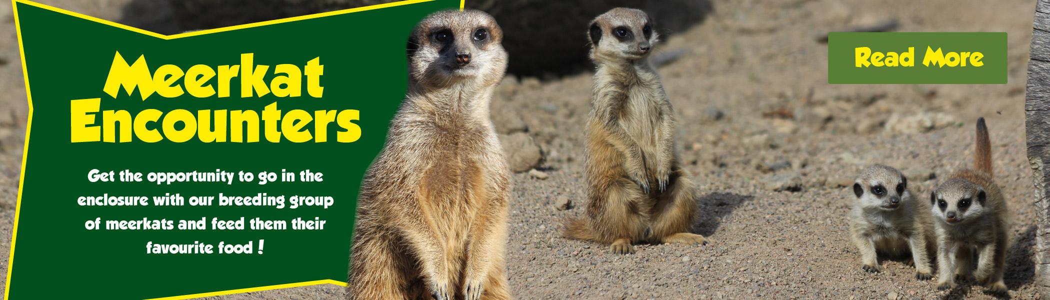 Meerkat Encounters
