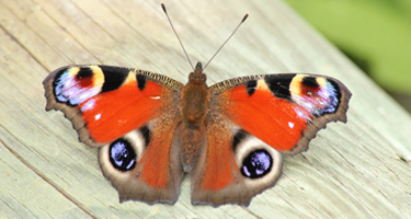 Big Butterfly Count  - 14th July - 6th Aug