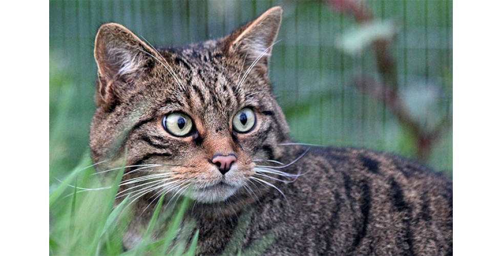 Northumberland Zoo welcome a pair of Scottish Wildcats!