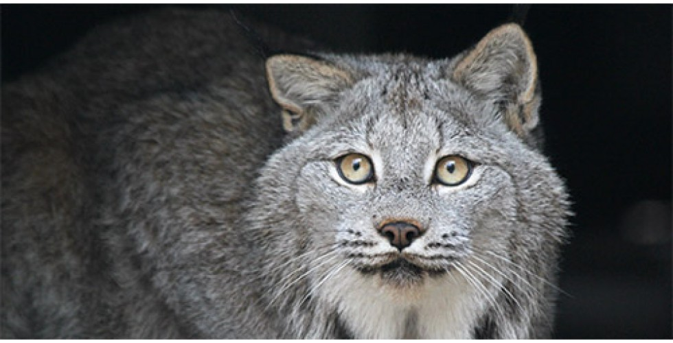We are now home to 3 gorgeous Canadian Lynx