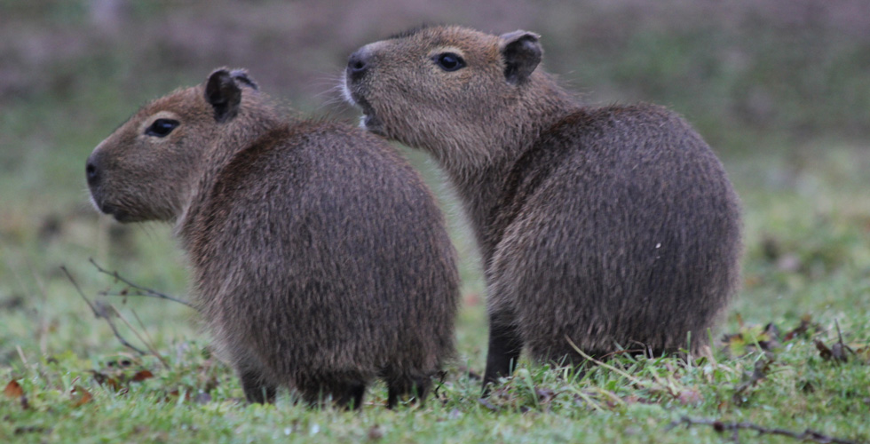 We have welcomed seven new baby capybaras in the last couple of months & they are just so adorable!