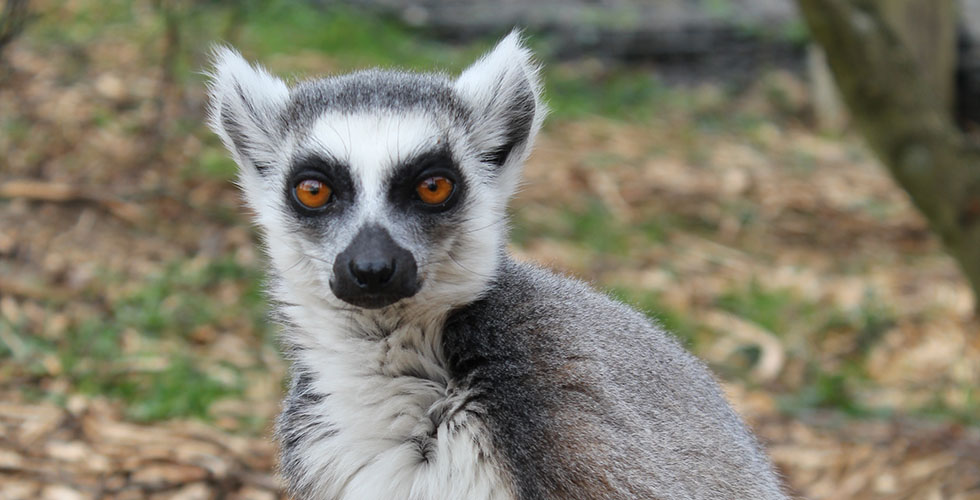 We have recently welcomed more Ring-tailed Lemurs to the zoo, increasing our troop size to 13!