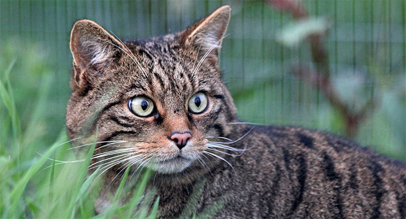 NCZ Welcomes Scottish Wildcats!