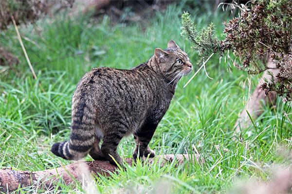 Ncz Welcomes Scottish Wildcats