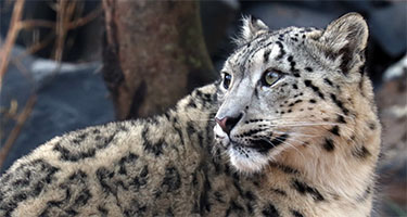 Snow Leopards Settling In